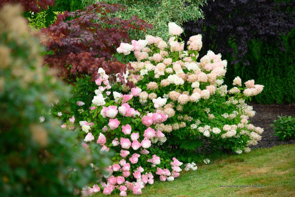 Hortensje w ogrodzie. Zamówienia projektów ogrodów